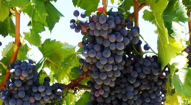 Rượu Vang Nam Phi Lanzerac Pinotage Stellenbosch
