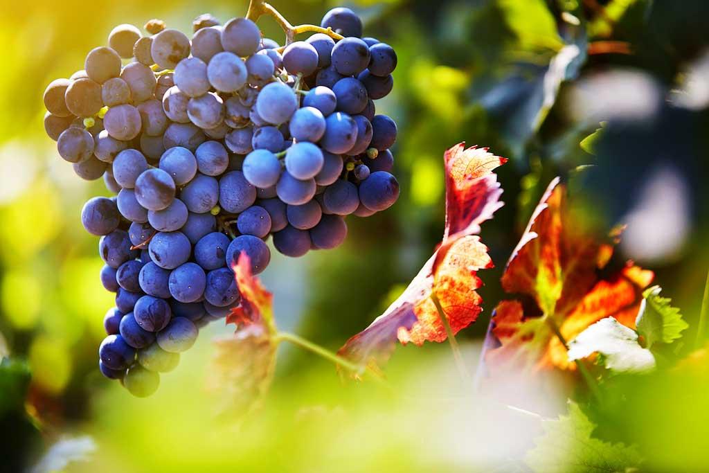 Rượu Vang Nam Phi Lanzerac Syrah Stellenbosch